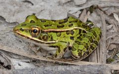 The Pacific Northwest is home to a variety of frogs. Have you ever wondered what the difference between them are?