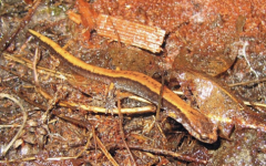The top ten salamanders found in and around Oregon